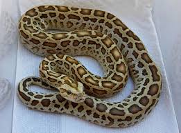 The Burmese Python has overrun Southern Florida