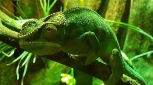 A Chameleon is a cute and popular pet, but....
